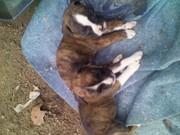 Boxer akc puppies