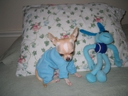 cute and affectionate male and female chihuahua puppies for adoption t