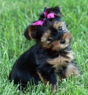 gorgeous Yorkie puppies remaining for adoption