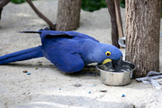 Hyacinth Macaw Birds Available